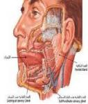 الغدد تحت الفكية submandibular gland